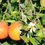 Uncle Matt's Organic citrus farm 'uncovering' old, timeless methods