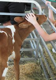 This heifer born July 15 is ready to love fair-goers.