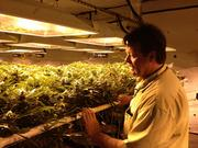 Frank Vest , operations manager for Medicine Man, looks over some of the marijuana plants under the grow lights.