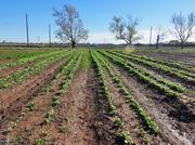 Johnson Development Corp., a Houston-based developer, is under construction on Harvest Green, a new master-planned community that is anchored by a working farm, which will grow bok choy, kale, carrot and other vegetables and herbs.