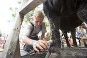 Jack Henderson of Hill Valley Farms concentrates on getting his cow auction-ready.