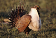 """Those making efforts to harvest and manage the spread of juniper in Eastern Oregon will work to ensure sage grouse can keep their habitats. Gov. John Kitzhaber has designated the Western Juniper Utilization Group as an """"Oregon Solutions"""" project and will sign off on $262,000 in funding for the efforts."""