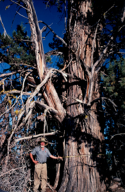 Whereas the Western Juniper Utilization Group will attempt to harvest and manage the spread of the wood throughout Eastern Oregon, officials will not eradicate old growth juniper such as this one.