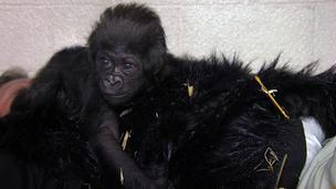 Gladys holds on to one of the faux fur gorilla vests worn by a zoo employee.