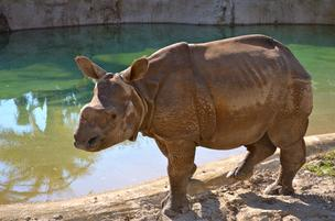 The rhino's name is Jahi, which means dignified.