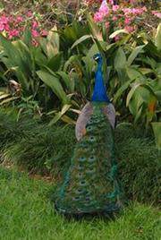 The peacocks that roam the land will be donated to the Houston Zoo, Aron says.