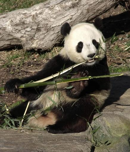 Tai Shan, the National Zoo's last panda cub, went back to China in 2010.