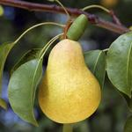 Your career may be languishing for the same reason my pear tree did