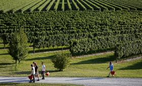 Employees carry buckets as they walk past rows of grape vines, grown for their use in Prosecco wine, on the first day of the grape harvest.