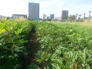 Crops grow at PHX Renews over the summer.