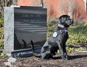 Seven, one of two Labrador retrievers trained to detect explosives at Albany International Airport, takes a break at the airport's 9/11 Memorial.