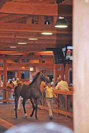 A horse sold by Joseph McMahon, a breeder in Saratoga Springs, prepares to enter the auction house. The horse sold for $34,000. Overall, McMahon sold close to $350,000 of thoroughbreds.