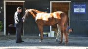 A thoroughbred is inspected prior to yesterday's Fasig-Tipton auction. Day two is tonight.