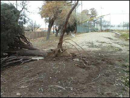 Strong December winds have uprooted trees in some Albuquerque neighborhoods.
