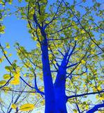 It's no joke, Albuquerque trees will turn blue