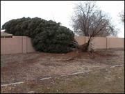 This tree was uprooted in an Albuquerque neighborhood on north Broadway Boulevard.
