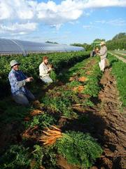 Harvesting carrots on the farmland in the South Valley.