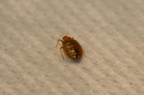 Adult bedbugs are about the size of an apple seed. They tend to be around pillows and headboards, drawn by the carbon dioxide exhaled by humans, their foodsource. Infestations have boomed in many cities, and the critters are in New Mexico, but not yet in large numbers.