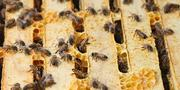Bee Local works with two types of honey bees, Carniolan and Italian.