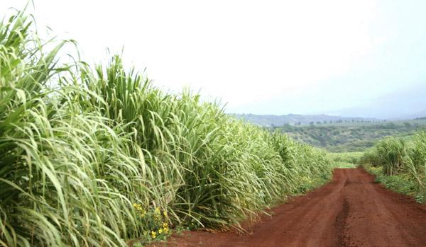 In one grant-funded project announced this week, ZeaChem and Oregon State University will participate in biofuels research focused on using sugarcane and other tropical grasses in Hawaii.
