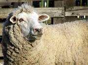 In 1999 the ranch switched from selling raw wool as a commodity to selling yarn and yarn products.