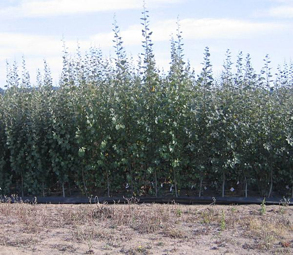 The poplar trees right and left of center have been genetically modified to be shorter.