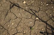 The current drought hassignificantlycut harvests throughout the state. Recent rains havealleviatedsome pressure on the vines, but now growers have a mildew problem. These cracks look severe, but they're nothing compared to a few months ago, growers said.