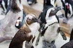 Maryland Zoo seeks contractors to build $8M penguin exhibit