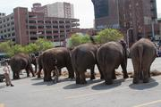 A group of Ringling Bros. elephants line up outside Lexington Market on Wednesday before chowing down on lunch.
