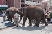 A group of circus elephants exit a Lexington Market parking lot after grubbing Wednesday afternoon.