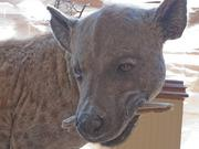 A statue of a hyena inside Ripley's Believe It or Not's new Baltimore museum.