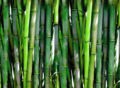 Could a bamboo boom be on the way for the Black Belt?