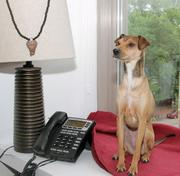 Lucy, an Italian greyhound/miniature pinscher mix, is another Karmaloop dog, owned by Melissa Famiglietti.