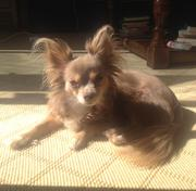Vivian, Dina Selkoe's long-haired Chihuahua, another Karmaloop workplace dog.