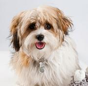 At Marlo Marketing/Communications in Boston, Marlo Fogelman's Shih Poo, Lulu, can often be found wandering the halls.
