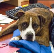 On most days, there are as many as 35 dogs at Plymouth, Mass.-based SmartPak, which markets horse nutritional supplements as well as horse and dog products. At any given time, the 250-person company has around 35 dogs at the office. This is Tiki, a pitbull-terrier mix owned by Senior Buyer Maria Trout.