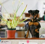 MG (Stella), one of as many 35 dogs that show up to work on any given day at SmartPak. A miniature pinscher, she's owned by Renee Portnoy and is a member of the merchandising team.