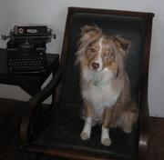 """""""Murphy"""" works as PR firm Teak Media's chief relaxation officer in South Boston. Katie Stinchon, account manager and special events director at the firm, owns Murphy, a mini-Australian shepherd."""