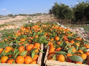 The U.S. Department of Agriculture on Friday said its estimate of the 2012-2013 Florida orange crop decreased less than 1 percent to 141 million boxes.
