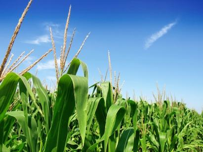 Agrivida, which is engineering corn for use in biofuels, has raised $15 million in new funding.