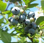 Blueberry tops peach as Georgia's top fruit crop