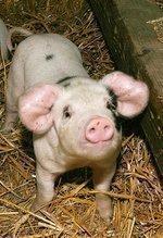 Newfane farm's not-so-little piggy is going to market