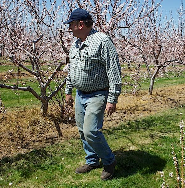 Singer Farms owner Jim Bittner says keeping the peach trees in his orchards pruned and cared for takes reliable employees.