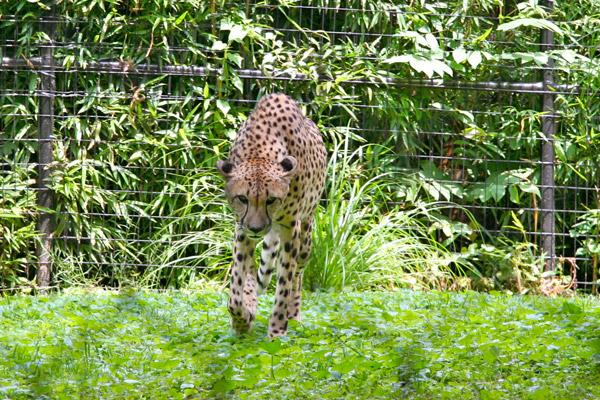 In Ohio, it's not illegal to own many exotic animal species, including cheetahs.