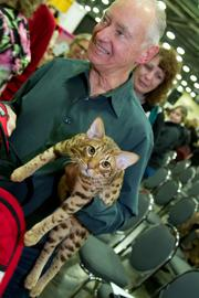 The Ocicat is seven months old and now has a life of breeding to look forward to as he retires from the show ring.