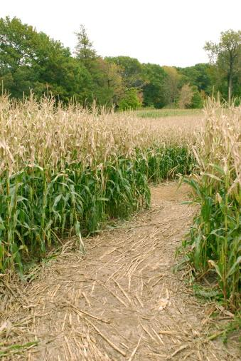 Shorter corn mazes may hurt this fall's agritourism.