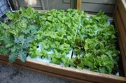 Rafts packed with flourishing greens fill the deep water culture portion of the hybrid system.