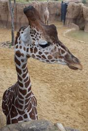 Giraffe feeding at the Dallas Zoo will be in addition to the price of admission if you want to attend the Memorial Day Cookout.