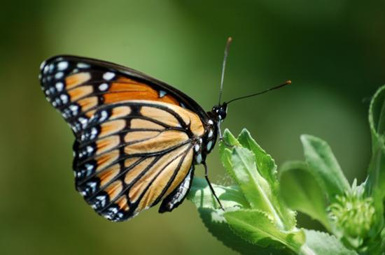 A Monarch butterfly similar to this one will get a lift from Southwest Airlines to help it rejoin its migrating brethren.