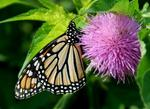 Monarch butterfly takes flight in Texas after airlift from Southwest